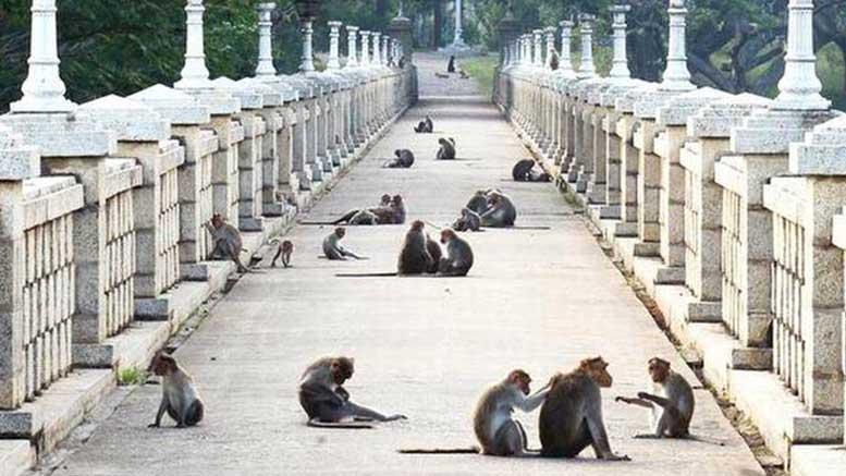Maymun Borsası